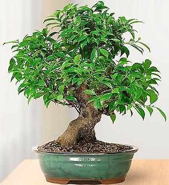 Banyan Fig Bonsai Tree