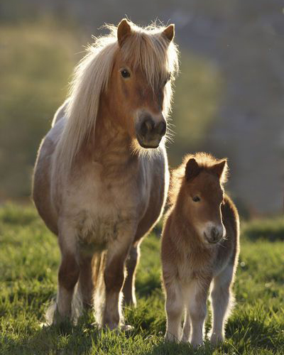 mother and baby shetland pony