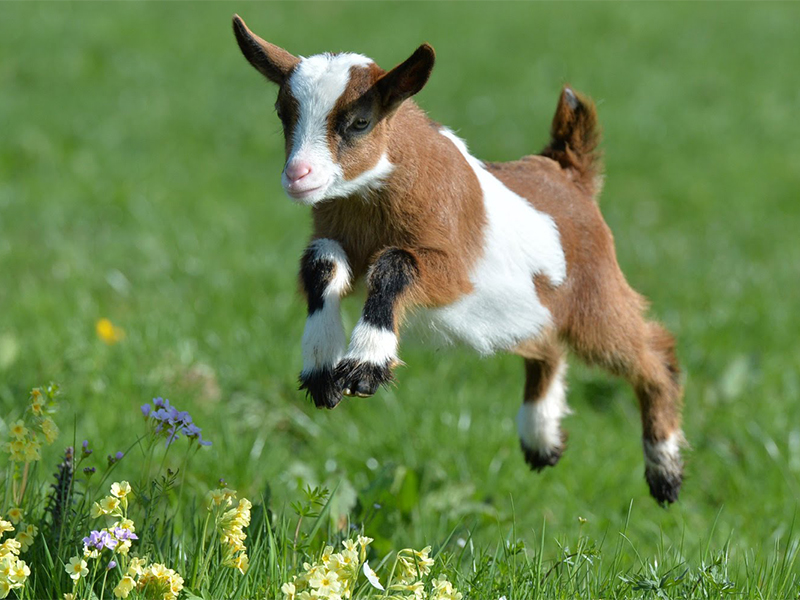 jumping baby goat