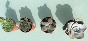 Four tiny succulent ready to use in a fairy/mini garden
