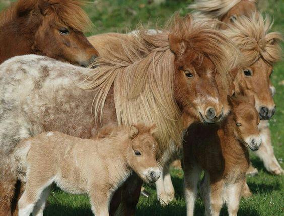 herd of shetland ponies