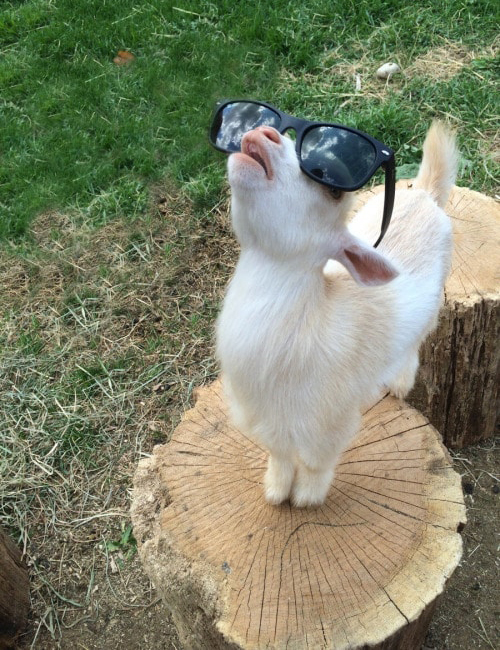 baby goat wearing sunglasses