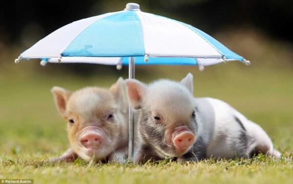 mini pigs under an umbrella