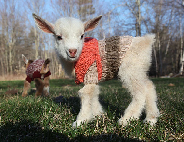 baby goat wearing jumper