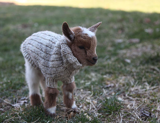 goat in jumper