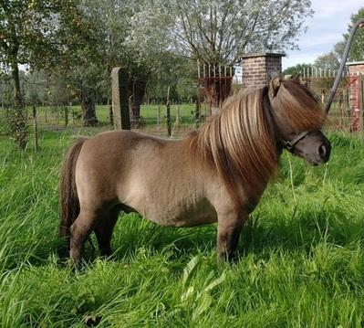 long hair shetland pony