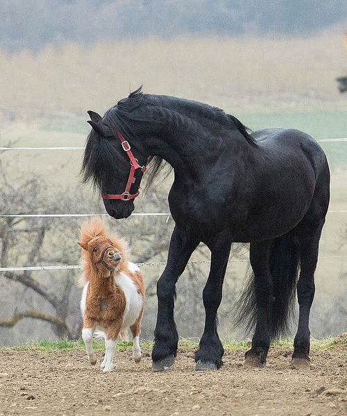 shetland pony with large horse