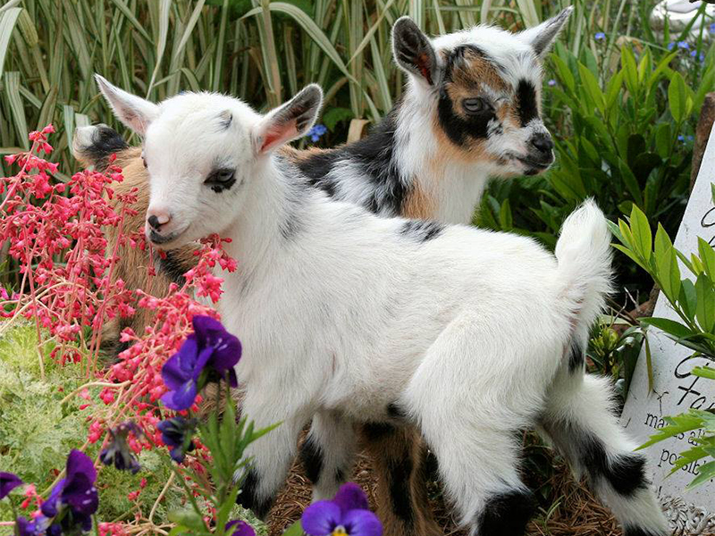 two goats with flowers