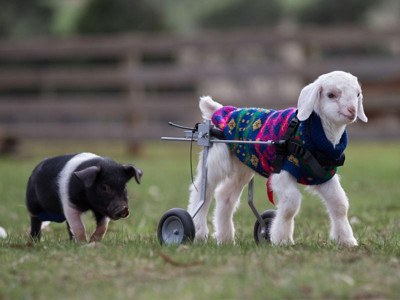 goat in wheelchair with pig