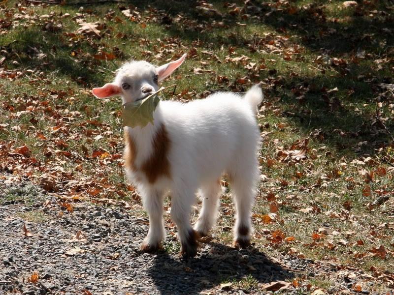 baby goat eating leaf
