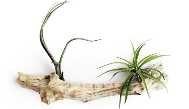 Air plants on a piece of drift wood