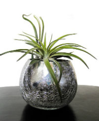 Air plant in a pot