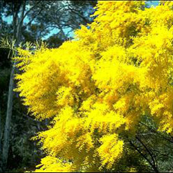 Yellow Acacia bush