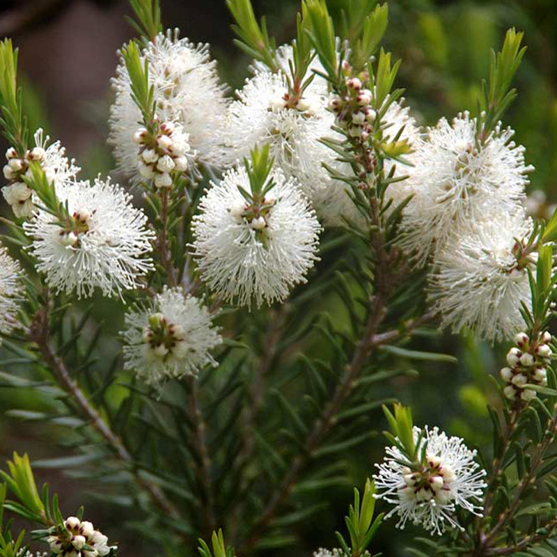 White Melaleuca flowers