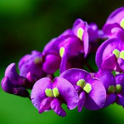 Purple Hardenbergia flowers