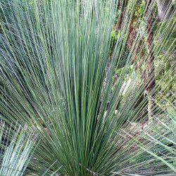 Xanthorrhoea a grass like plant