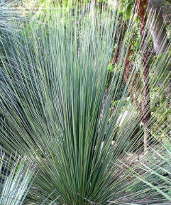 Xanthorrhoea grass like plant