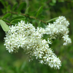 White sweet Bursaria flowers