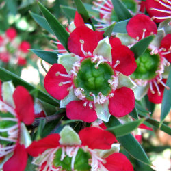 close up of leptospermum flowers