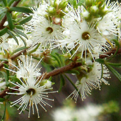 White Kunzea flowers