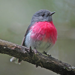 Pink breasted Robin