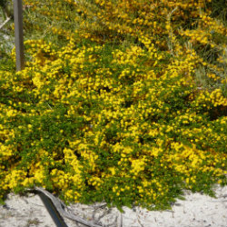 Yellow prostrate wattles