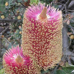 Pink and yellow banksia flowers