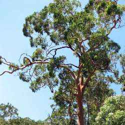 Angophora tree