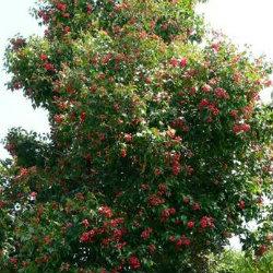 Acmena tree