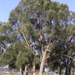 Allocasuarina tree
