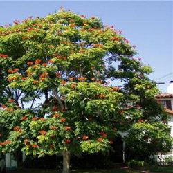 Stenocarpus Sinuatus tree