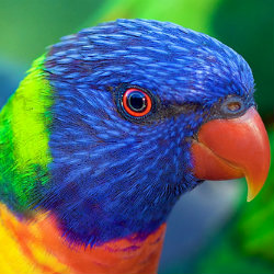 Close up of ranibow lorikeet head