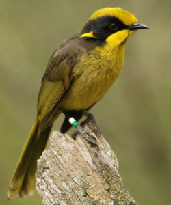 Yellow and black honeyeater