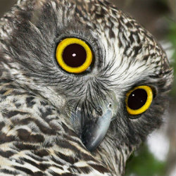 Wide eyes of the powerful owl