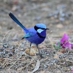 Bright blue splendid fairy wren
