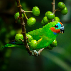 Small green fig parrot