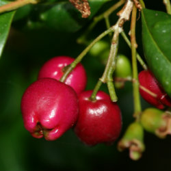 Close up of red Syzygium berry