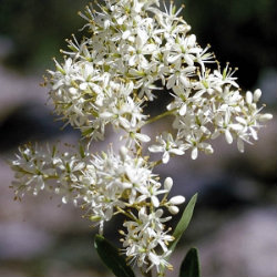 White Bursaria flower