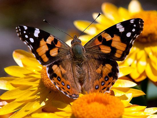 Butterfly - Orange, blackk and white