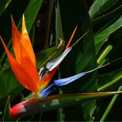 photo of flower - Bird of paradise - Strelitzia reginae