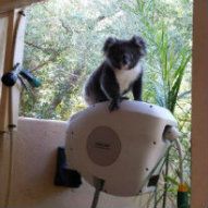 Koala on a Hoselink Retractable Reel