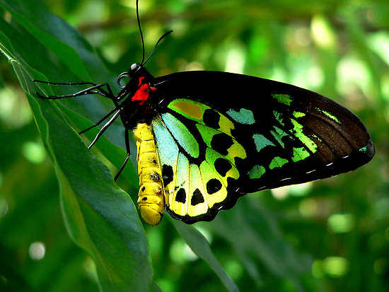 Cairns Birdwing Butterfly, black, red, green and yellow