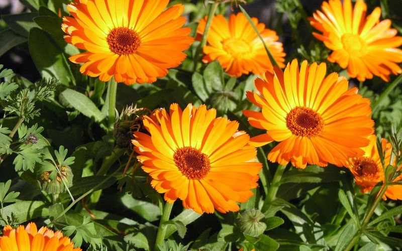 Calendulas are edible and can be used in the kitchen