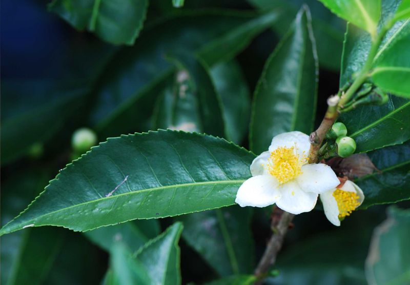 Camellia Sinesis which can be infused in hot water for drinking