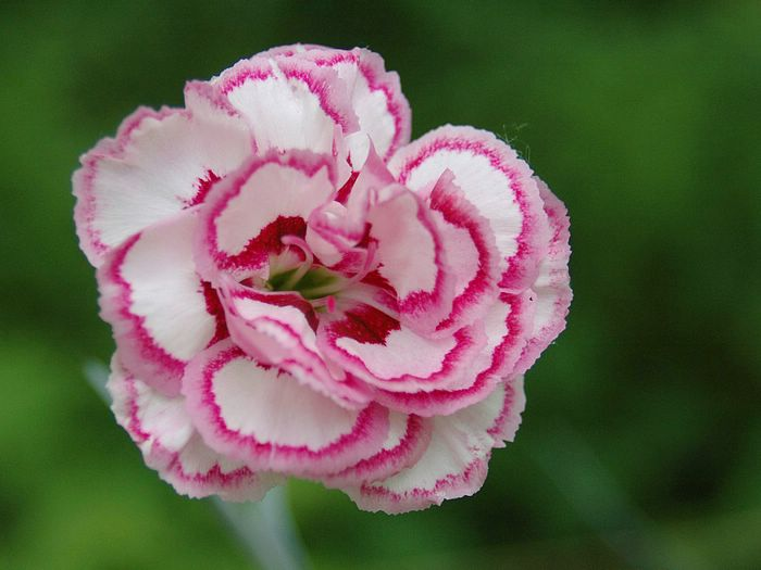 Carnations are edible and can be used in the kitchen
