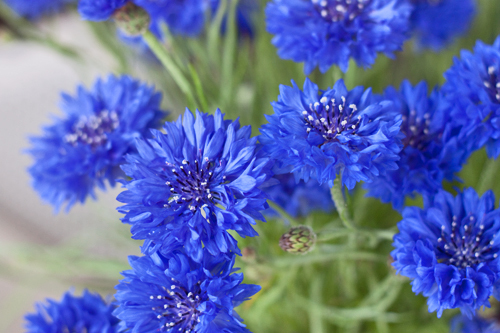 Cornflowers are edible and can be used in the kitchen