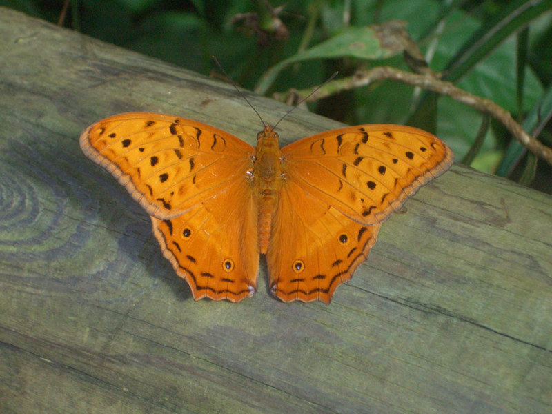 Cruiser Butterfly - Orange with black spots