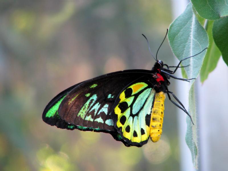 Cairns Birdwig Butterfly