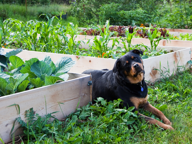 dog in a vegetable patch