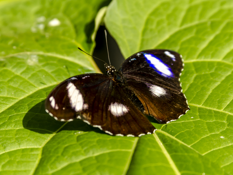 Common Eggfly Butterfly